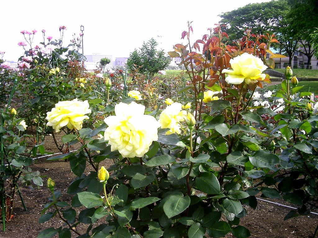 野毛山公園のバラ