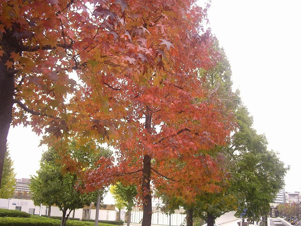 横浜美術館前の紅葉