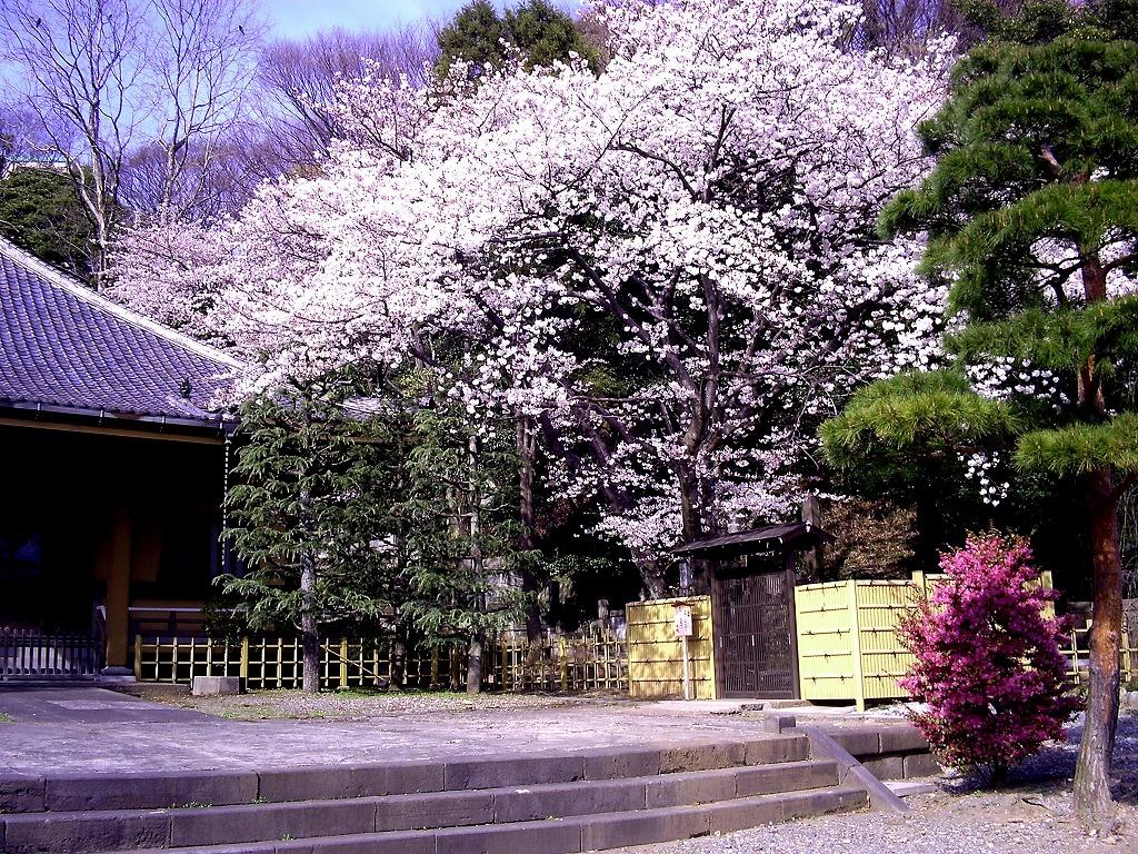 東福寺のさくら