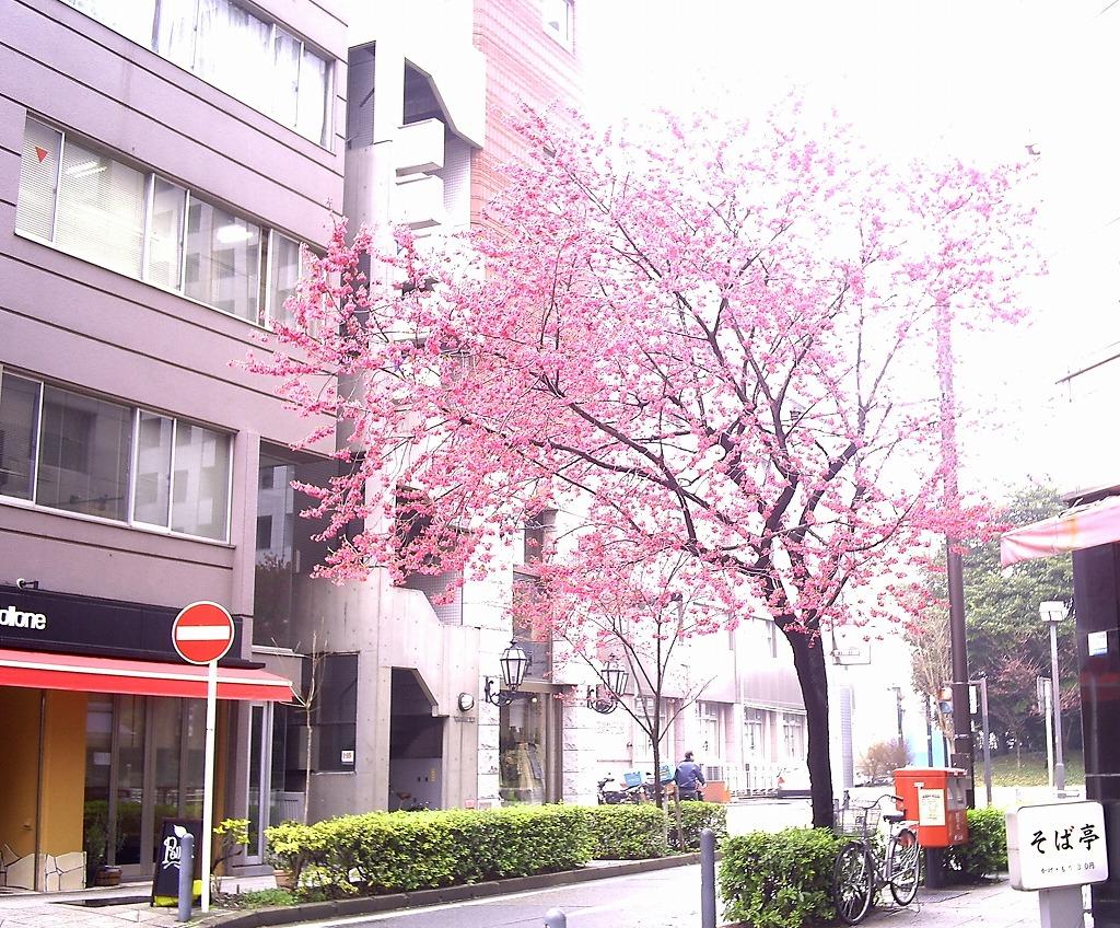 横浜ヒザクラ